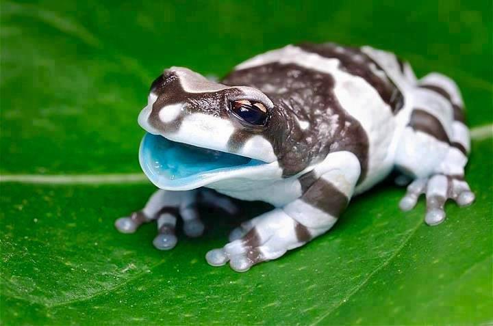 Amazing baby Amazon Milk Frog