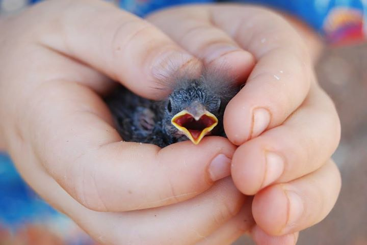 Baby-Birds (5)