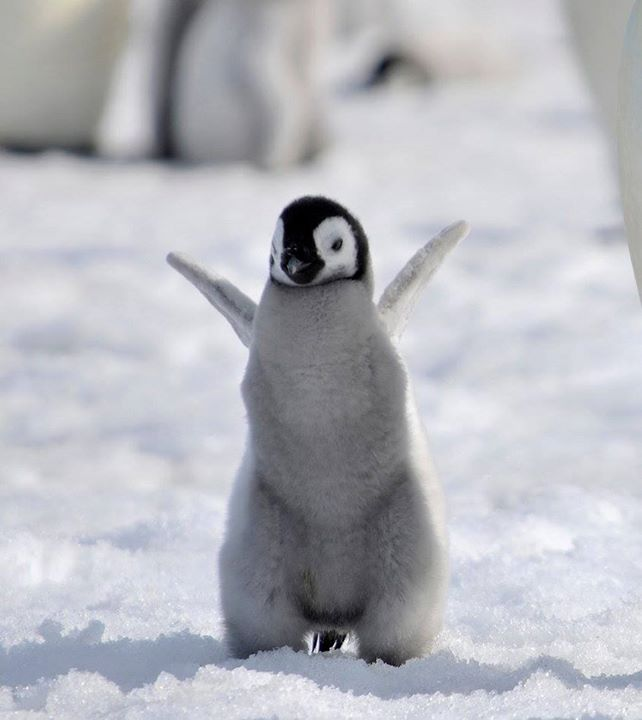 Baby-Penguine (1)
