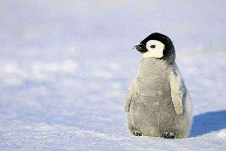 Baby-Penguine (2)