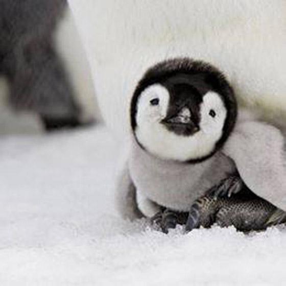 Baby-Penguine (3)
