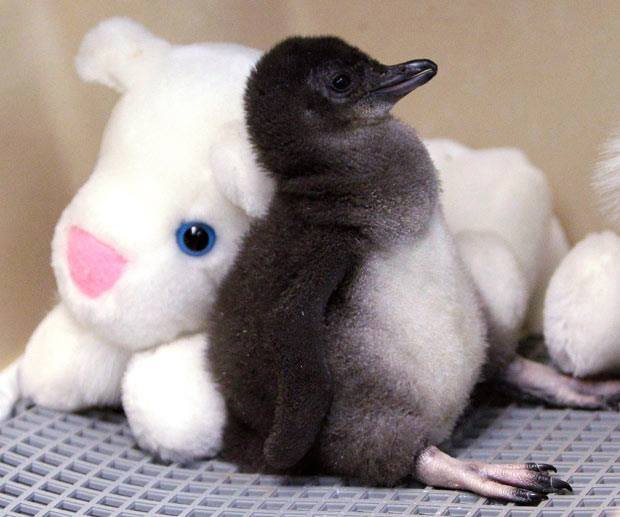 Baby-Penguine (4)