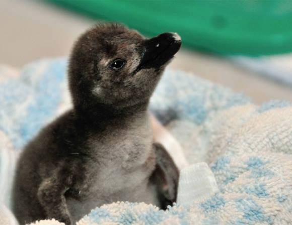 Baby-Penguine (6)