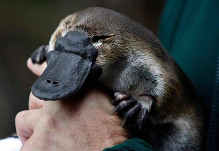 Baby-Platypus (4)