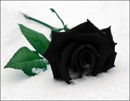 Black-Rose (5)