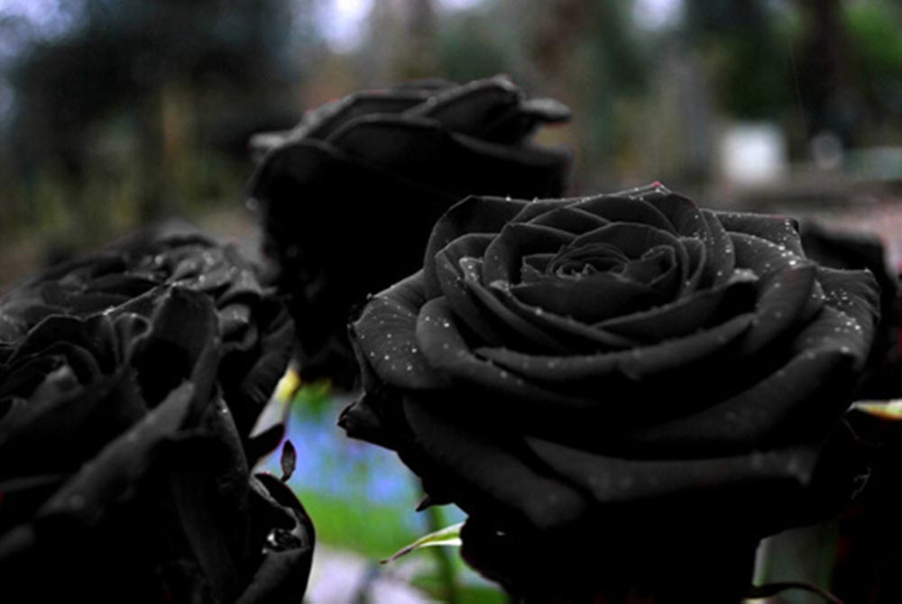 Beauty of Black Rose (7 photos)