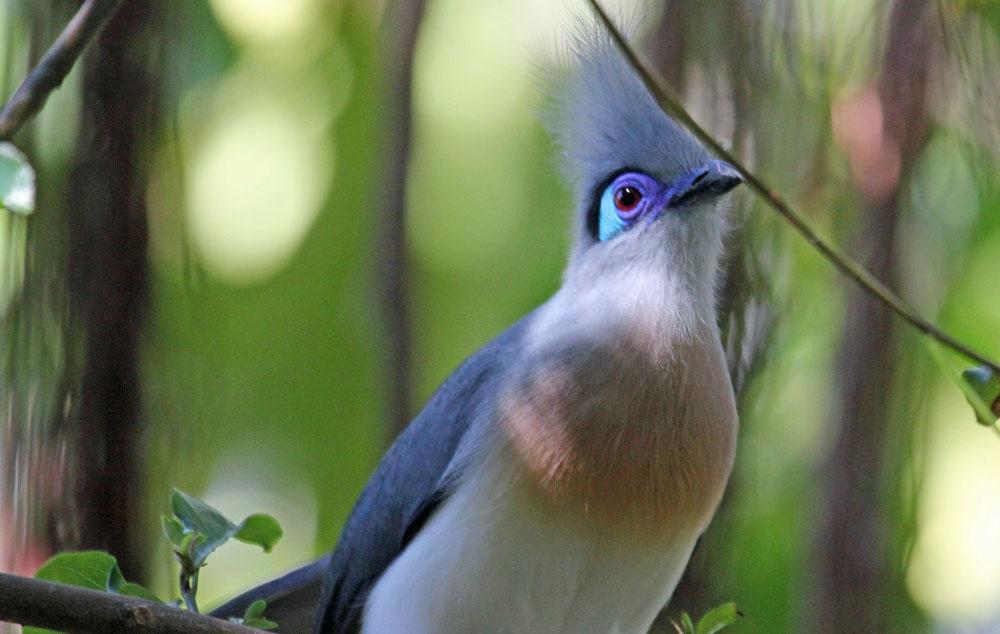Crested Coua (Coua cristata) Bird