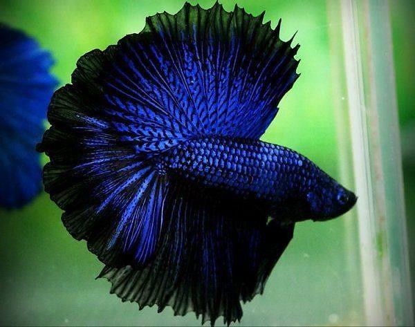 Betta-Fish (1)
