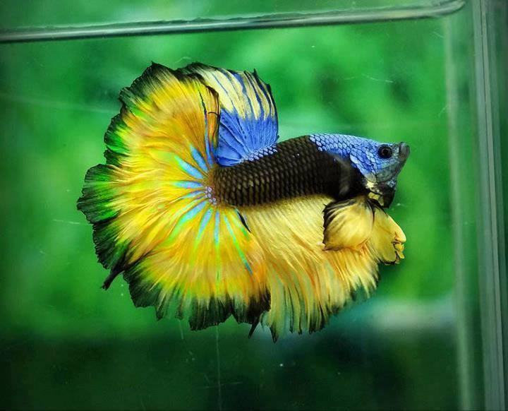 Betta-Fish (10)