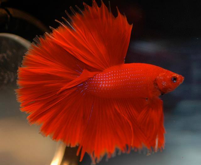 Betta-Fish (11)