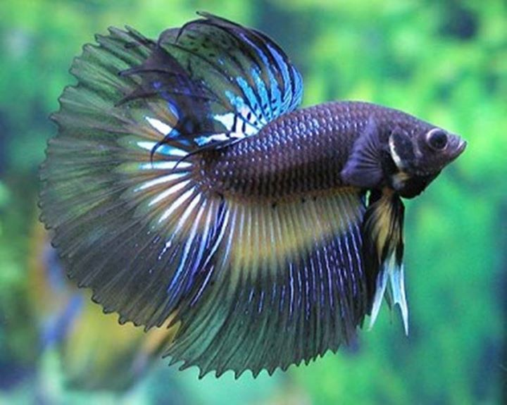 Betta-Fish (12)