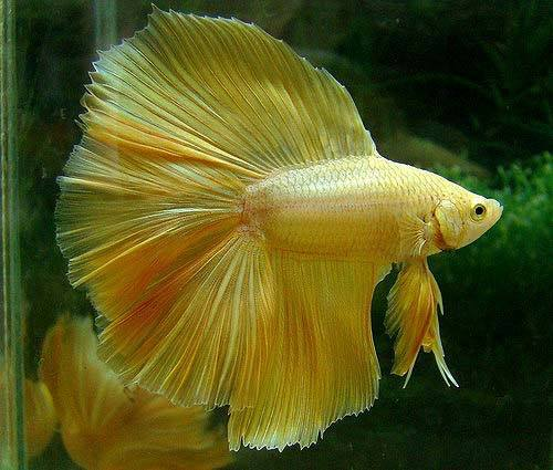 Betta-Fish (15)