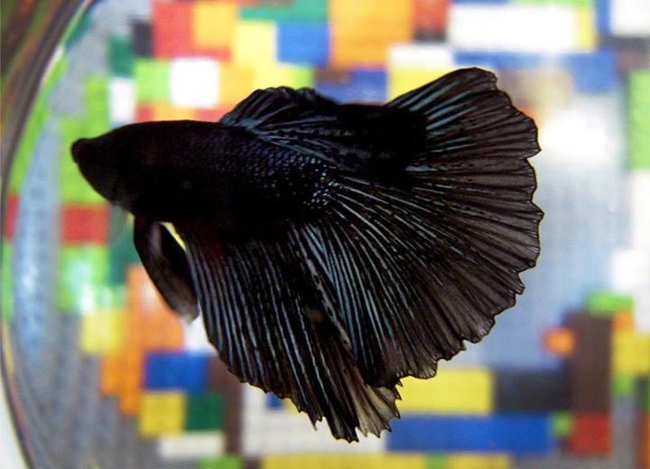 Betta-Fish (16)