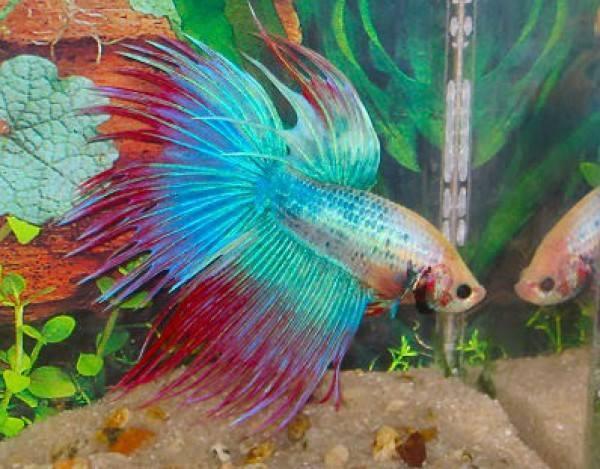 Betta-Fish (3)