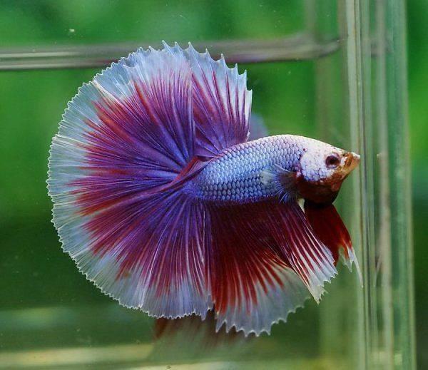 Betta-Fish (4)