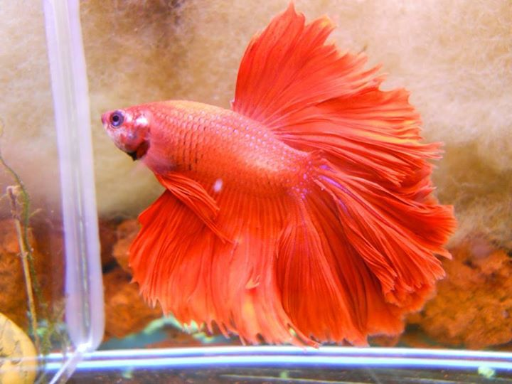 Betta-Fish (7)