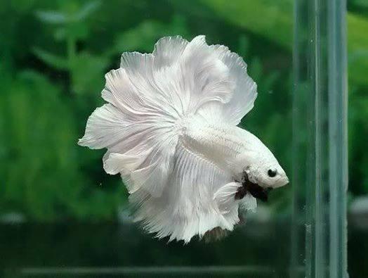 Betta-Fish (9)