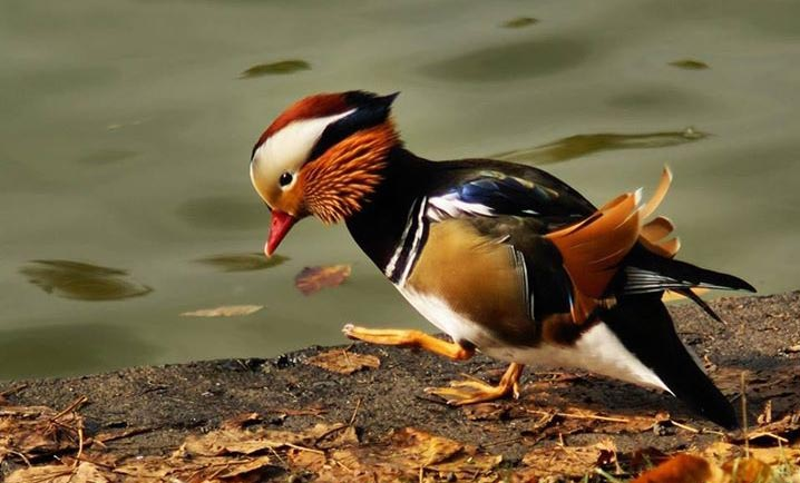 Mandarin-Duck (3)