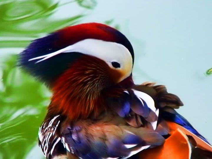 Mandarin-Duck (4)