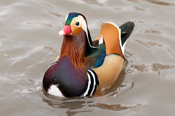 Mandarin-Duck (5)