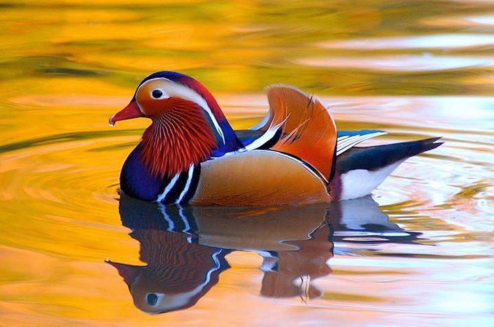 Mandarin-Duck (7)