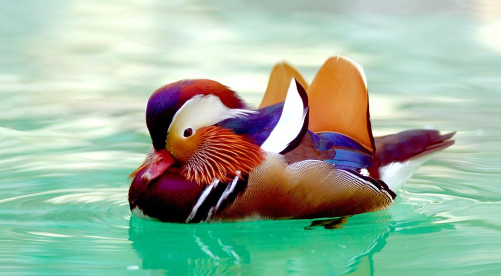 Adorable Mandarin Ducks (9 Photos)