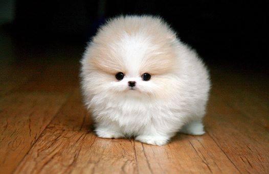 White-Pomeranian (1)