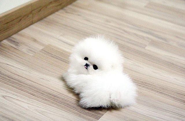 White-Pomeranian (3)