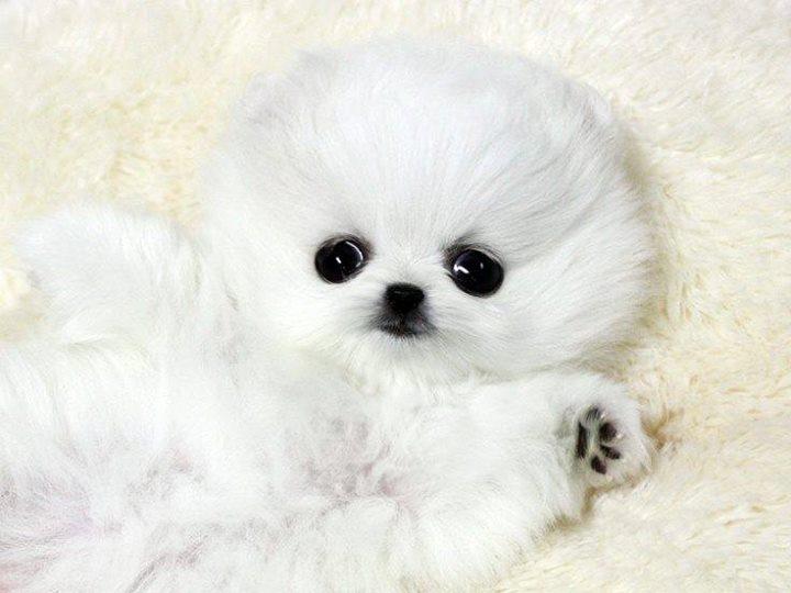 White-Pomeranian (4)