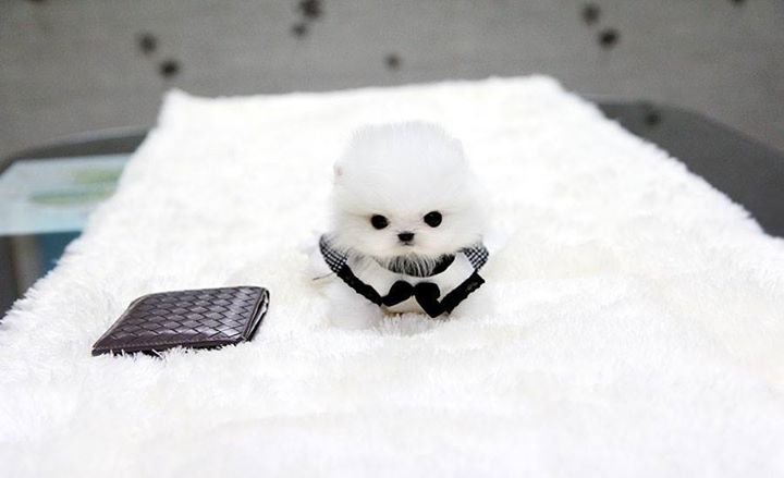 White-Pomeranian (6)