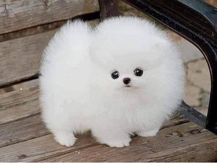 White-Pomeranian (8)