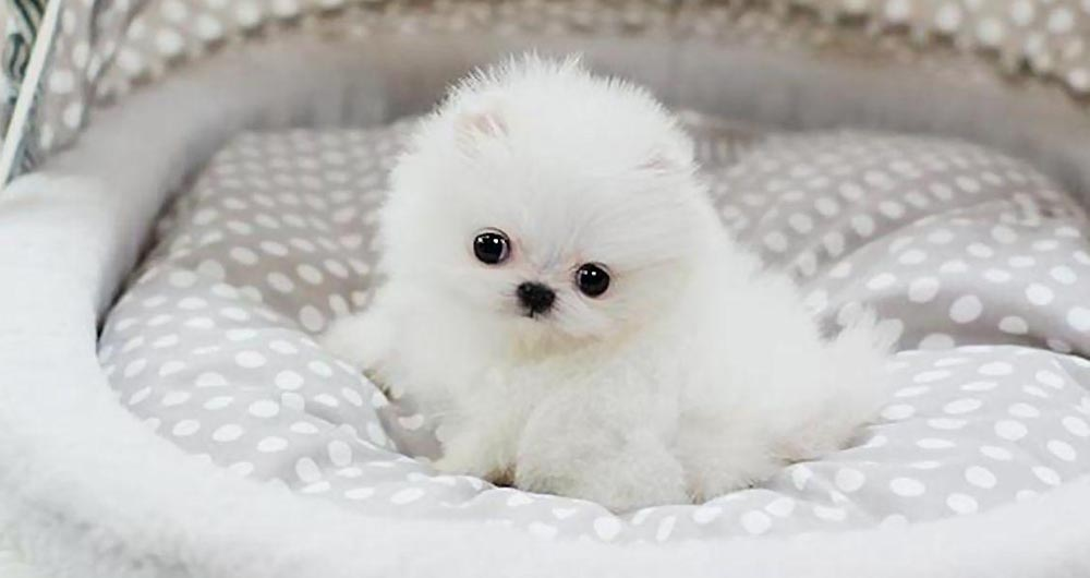 Cute Pomeranian Dog (8 Photos)