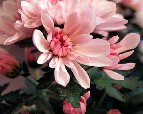 07chrysanthemum