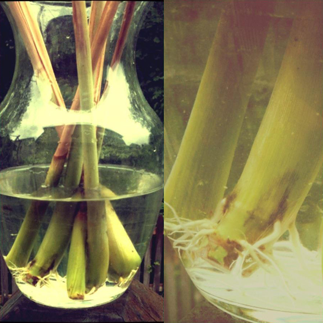 Growing Lemongrass