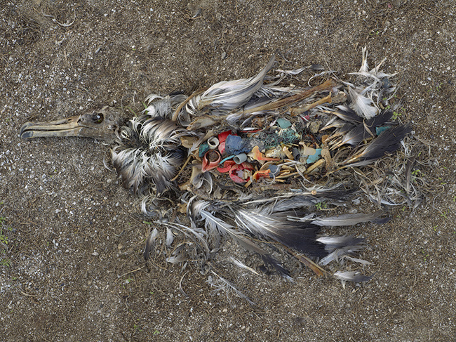 Albatros poisoned to death by plastic in Midway islands