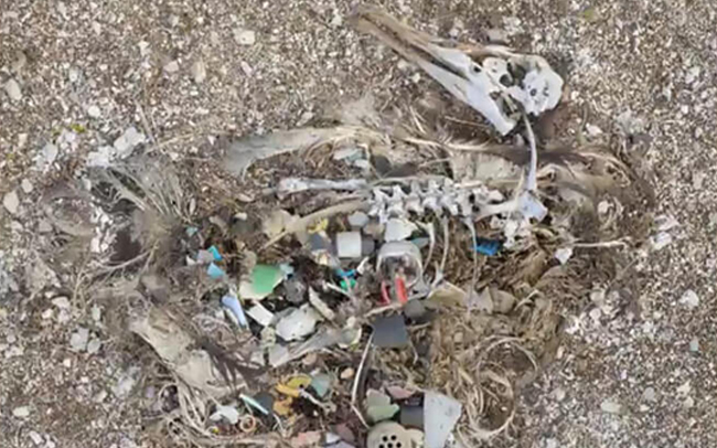 Albatross poisoned by plastic waste in Midway islands