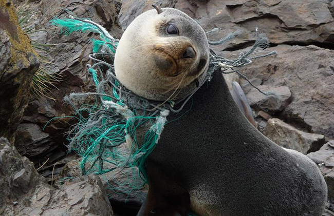 Another seal entangled in nets
