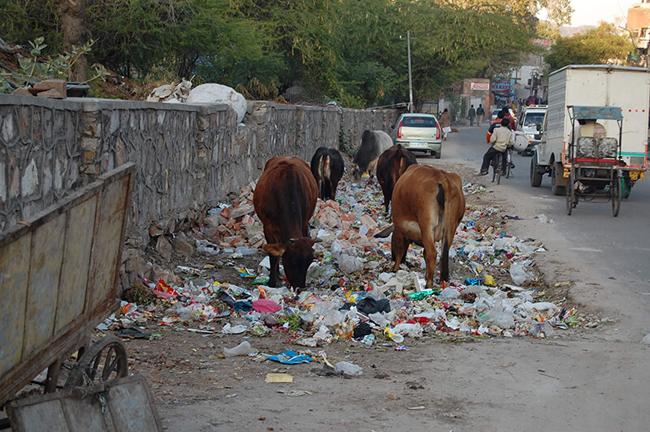 Cows grazing on rubbish, India