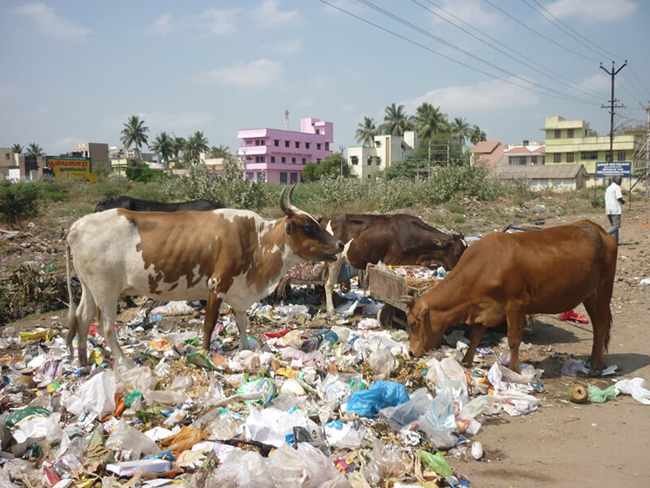 Cows grazing waste in India