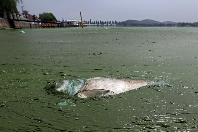 Dead fish in the pollution of the Yellow River, China