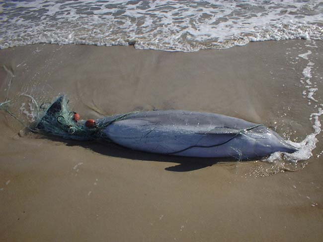 Dolphin died after being entangled in a net