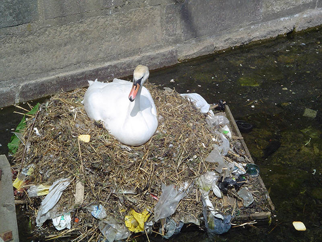 Duck nesting on a nest consisting partly of waste