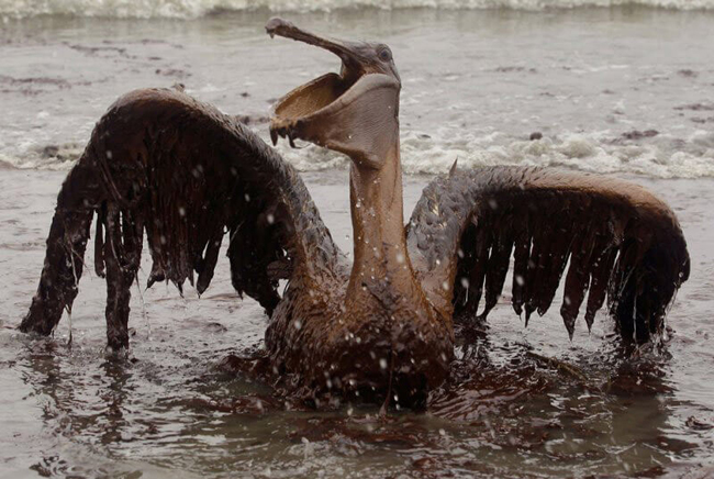 Pelican trapped in an oil spill