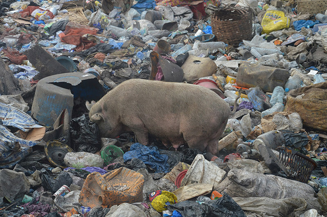 Pig looking for food in the garbage
