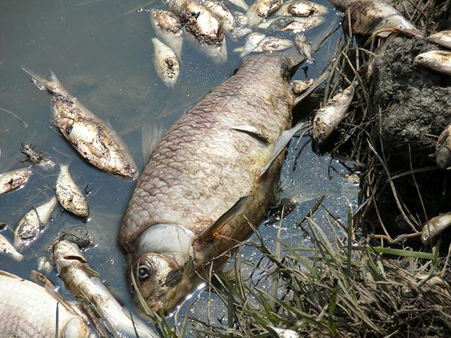 Poisoned dead fish