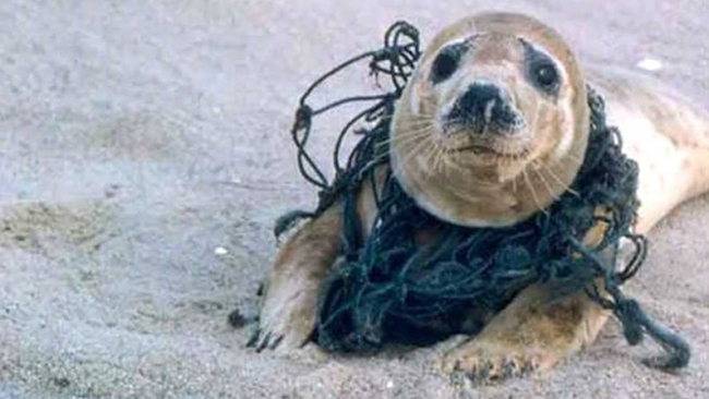 Seal, head caught in a net, wonders what he did to deserve this