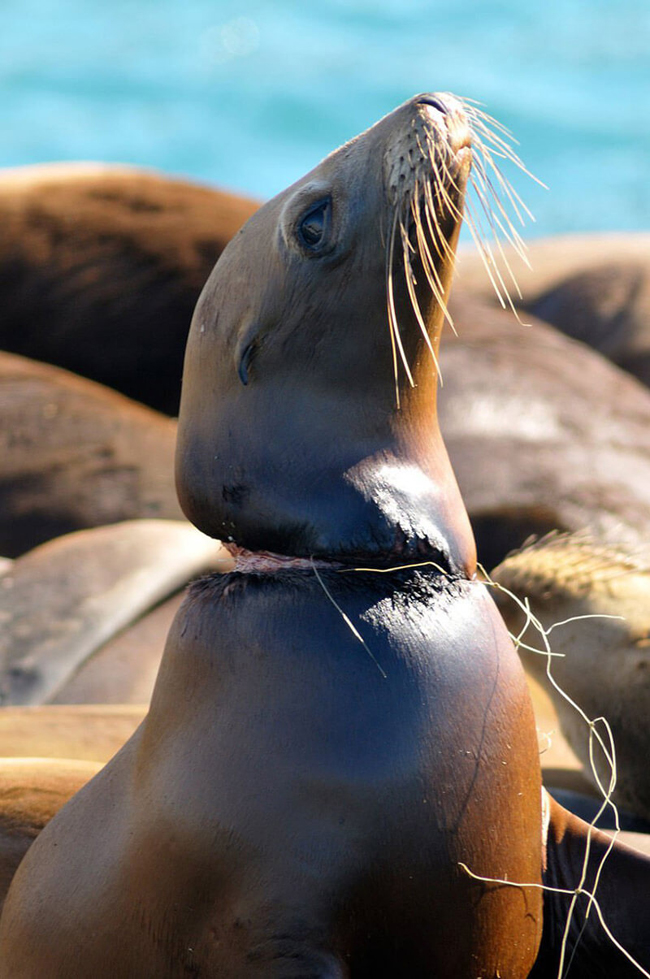 Seal injured by a plastic net