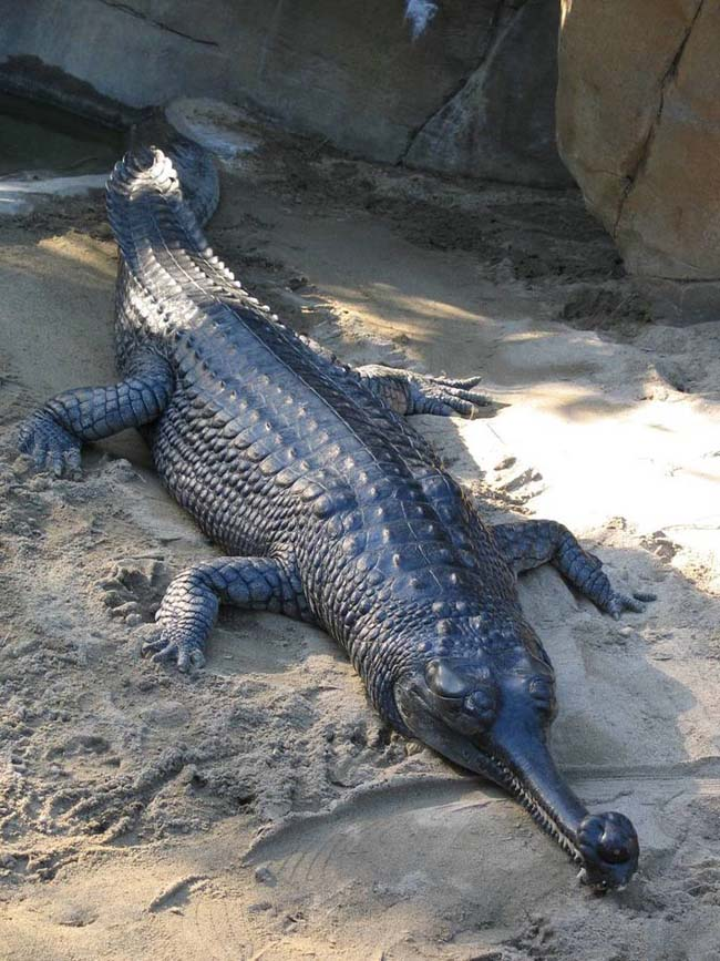 The Gharial Crocodile
