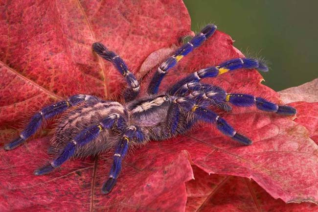 The Gooty Spider