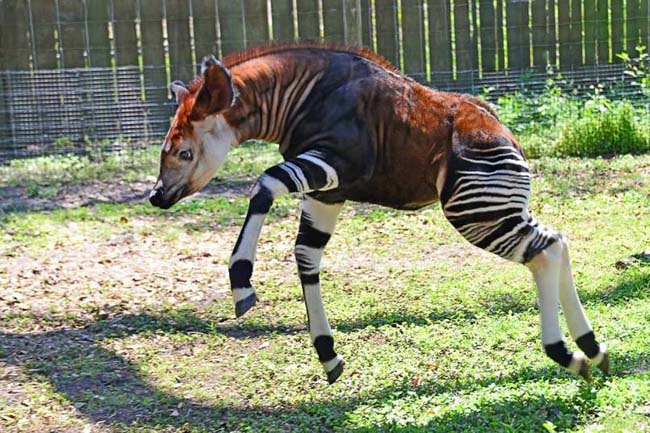 The Okapi..